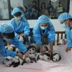 Video Of 14 Panda Cubs In Chengdu? Sure, Why Not