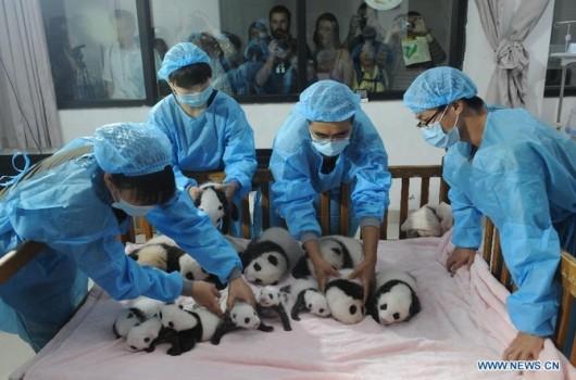 Baby pandas in Chengdu
