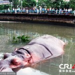 A Hippopotamus Is On The Loose In Shantou Due To Typhoon Usagi