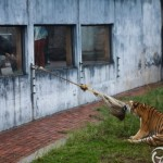 Tug-of-war with zoo tigers 1