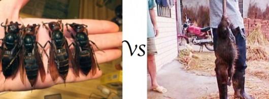 Large hornets vs rats