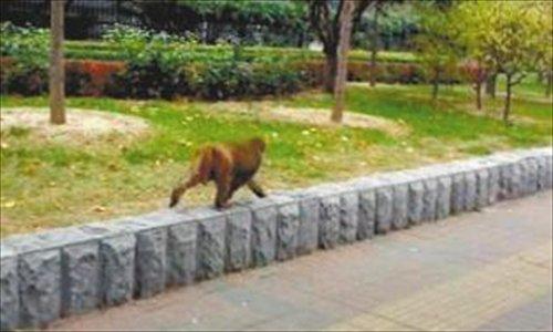 Monkey on loose in Beijing 2