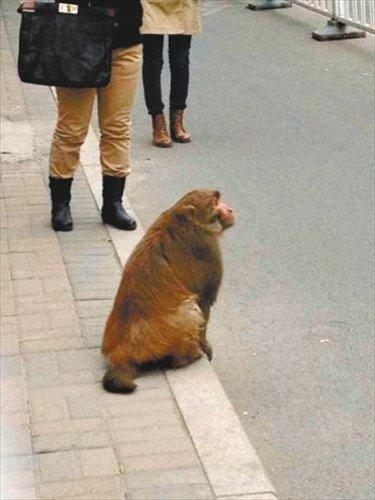Monkey on the loose in Beijing