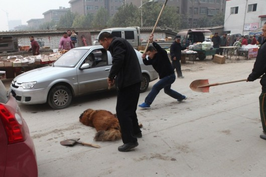 Tibetan Mastiff shot and beaten 5