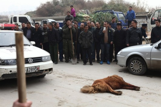 Tibetan Mastiff shot and beaten 6
