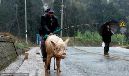 Chongqing pig rider