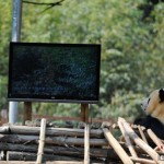 Pandas In Yunnan Zoo Watch TV As Treatment For Melancholy [UPDATE]