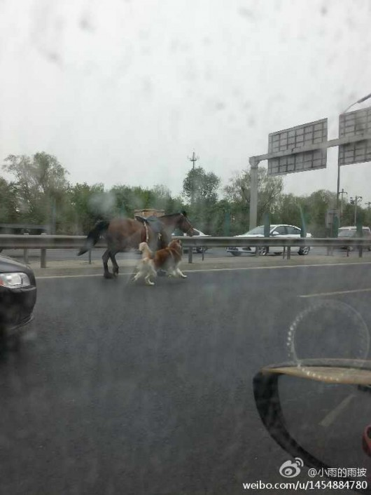 Horse and dog on Beijing's Fifth Ring Road 2