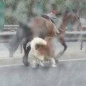 Here's A Dog Chasing A Horse On Beijing's Fifth Ring Road