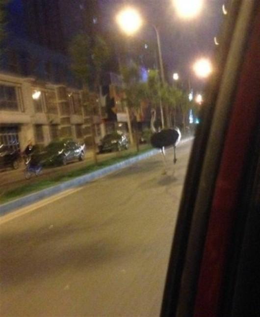 Ostrich runs in Beijing