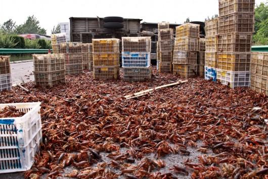 Crayfish on highway