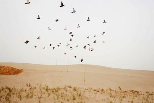 Carolyn Drake - Wild Pigeon 12